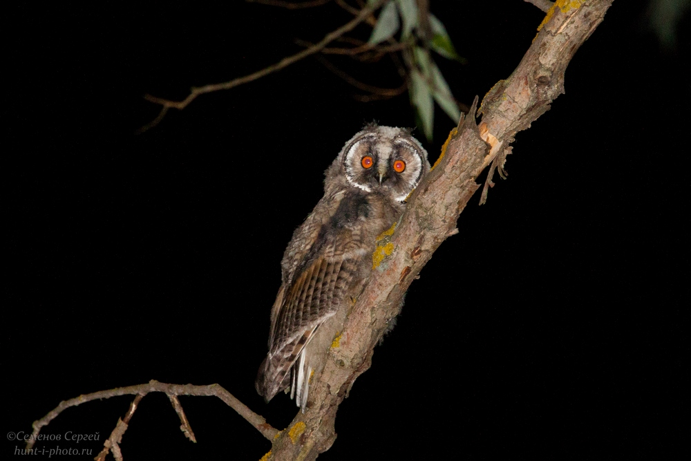 слеток ушастой совы в ночи