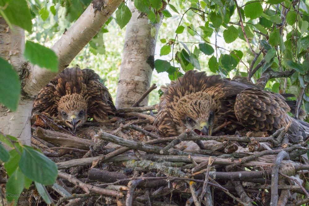 Гнездо коршуна. Птенцы.