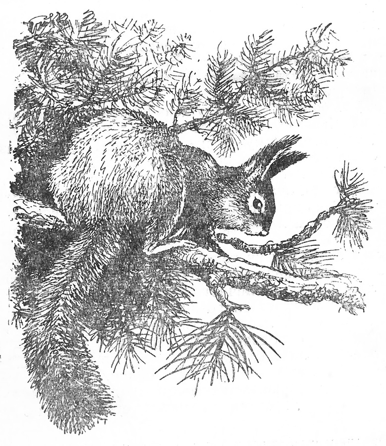 белка описание животного