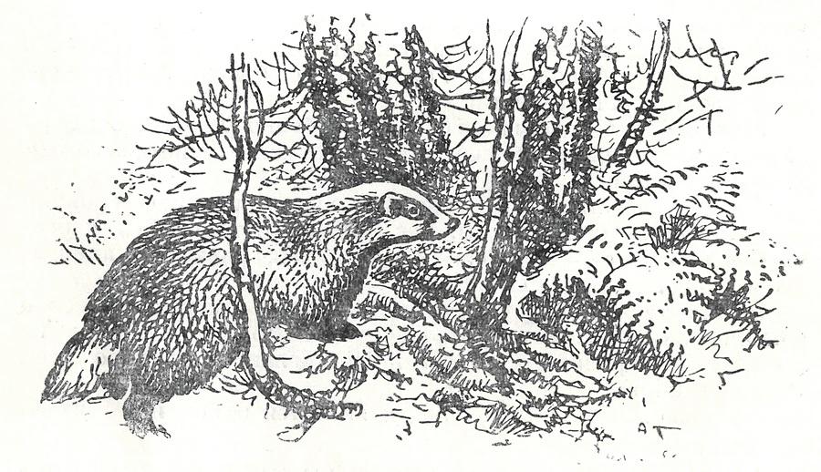 барсук описание животного