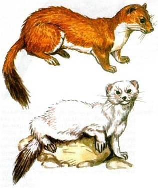 Описание горностая как выглядит животное