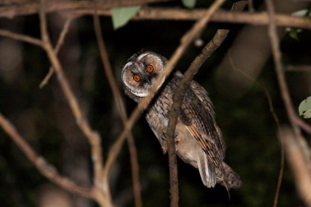 слеток ушастой совы